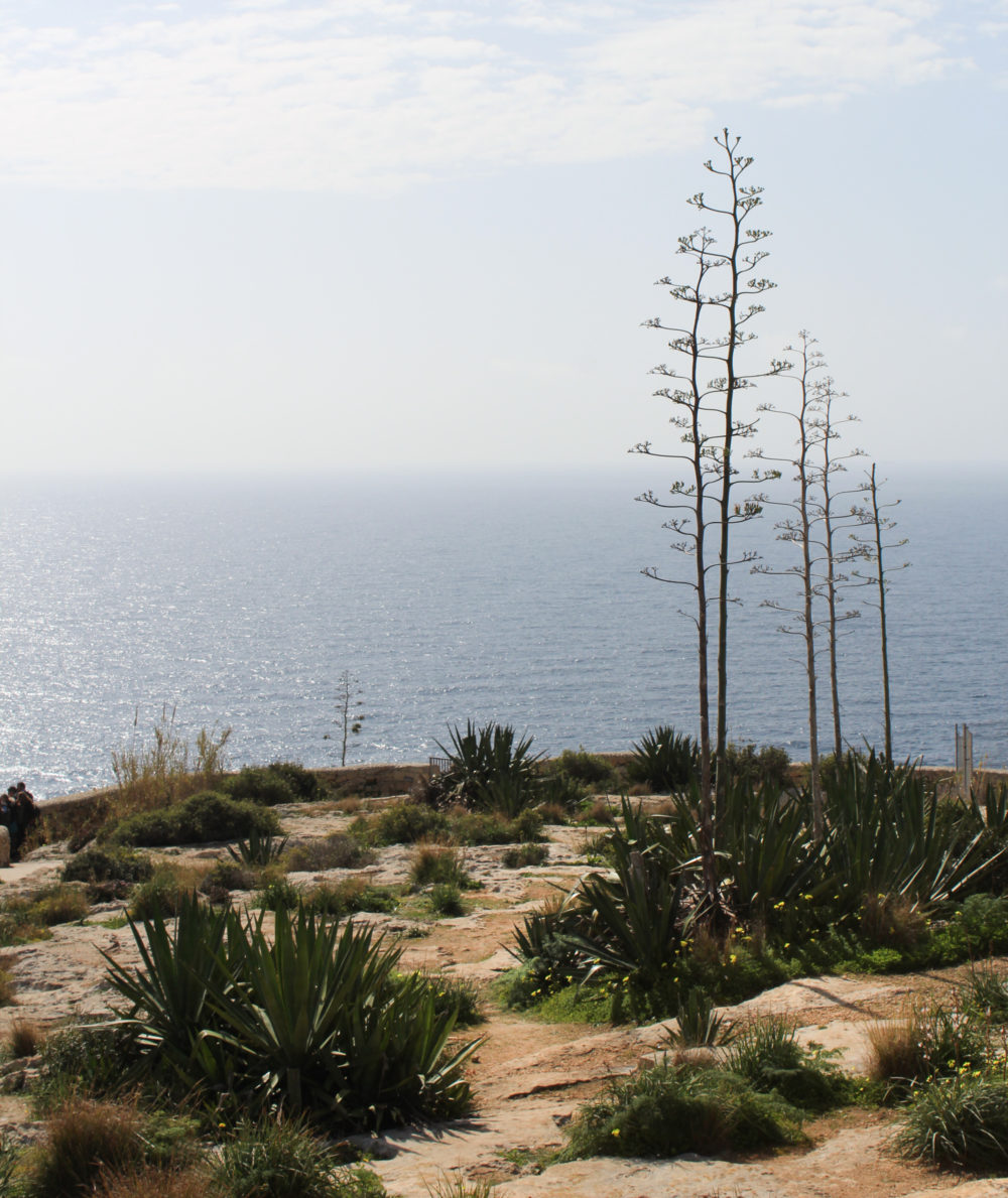 Guide to Malta. Agave Plants
