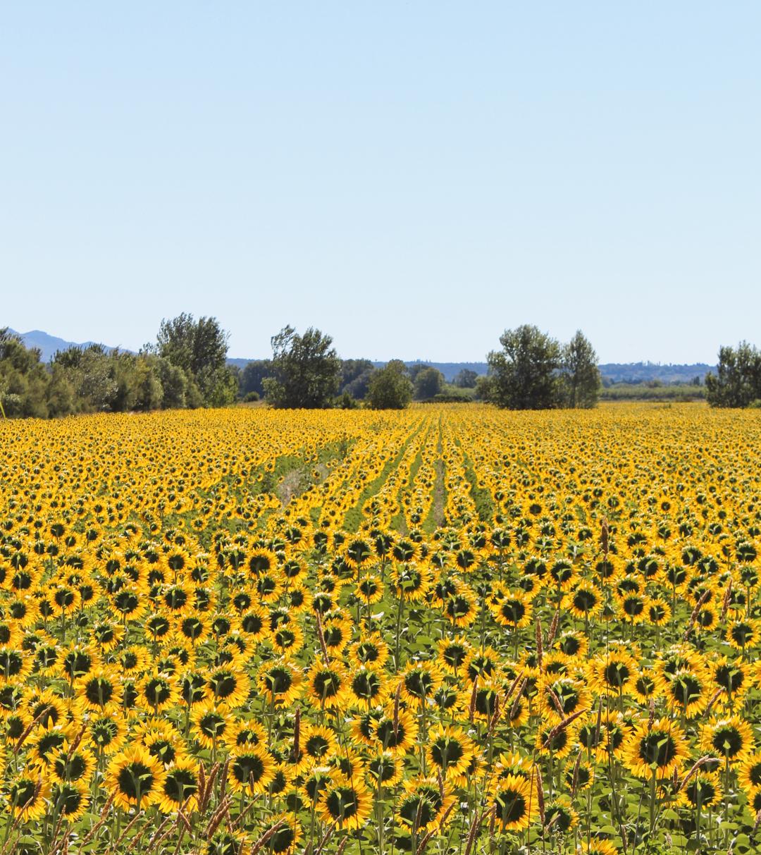 Sunflower fields in Provence