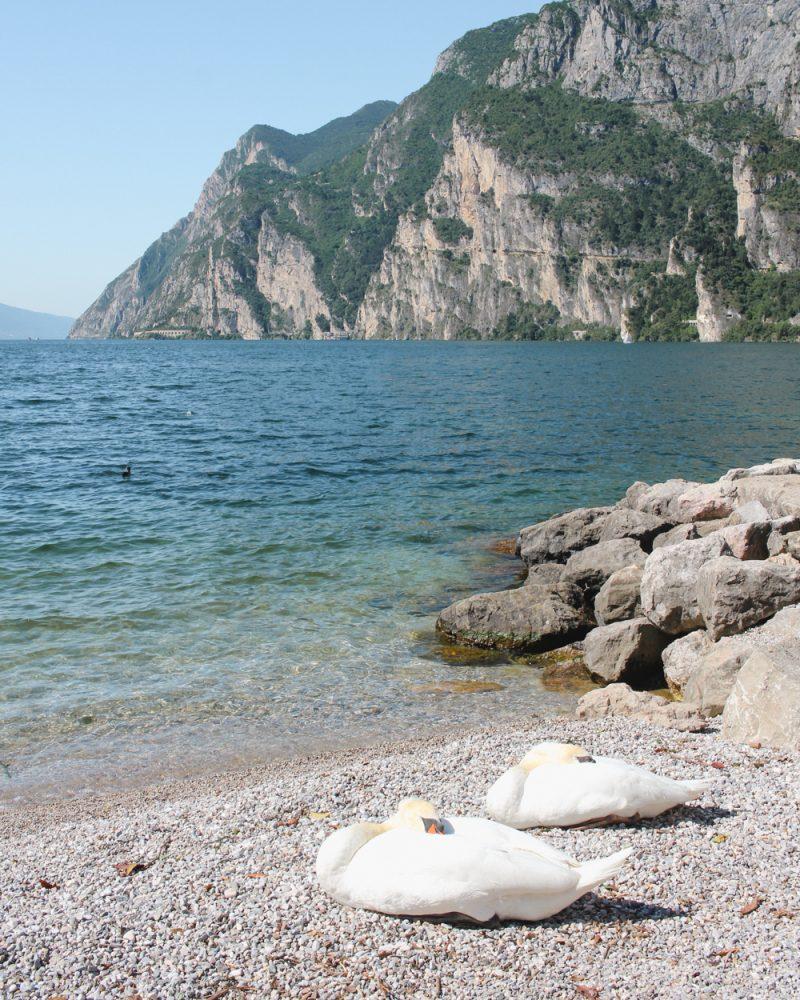 Swans Lake Garda