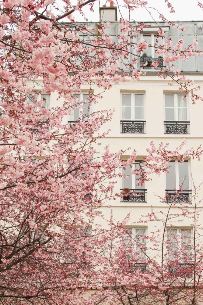 Pink Blossoms in Paris during the Spring |